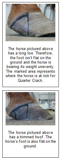 horses at risk for quarter crack in hoof