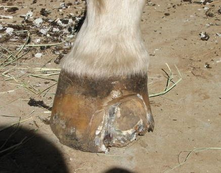 In very severe cases of white line disease in a horse's hoof, re-sectioning of the hoof wall may be necessary.
