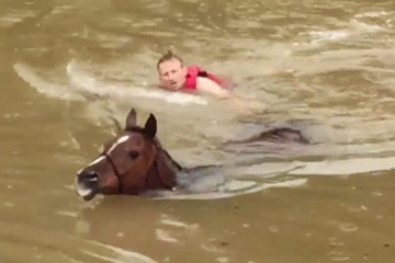 Horse hero swims next to a horse he is bringing to shore during the floods