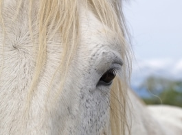 CA Mare Tests Positive for CEM