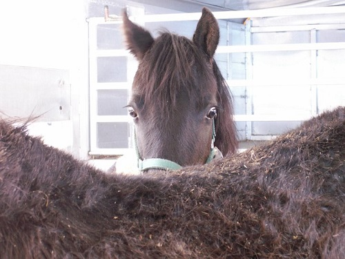 Horses Returned to Former Morgan Breeder Hoskins