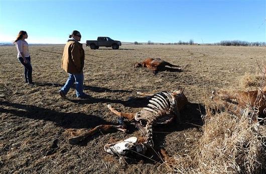 Almost 2 Dozen Montana Horses Left Shot