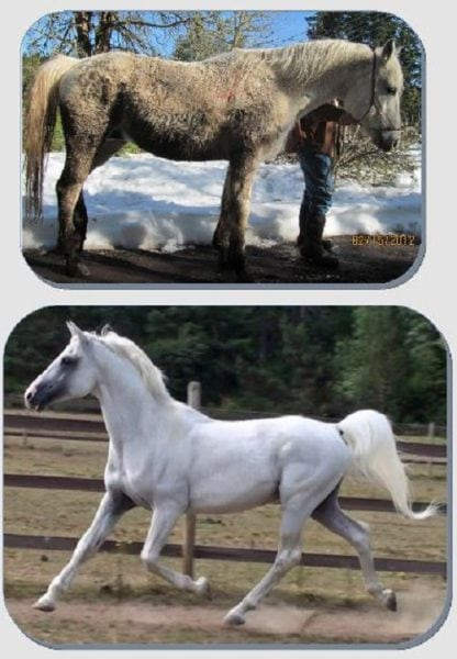 Former Shagya Arabian Breeder Banned from Owning Horses