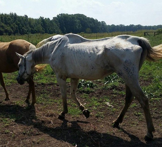 Indiana Horse Trainer Charged with Animal Cruelty