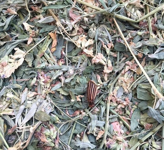 Blister Beetles in Alfalfa Blamed for Death of 4 North Carolina Horses