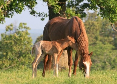 Court Halts AQHA's Registration of Clones