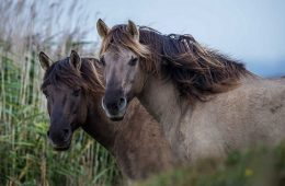 Unlocking Genetic Secrets of Dun Colored Horses