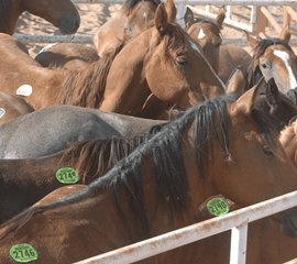 Federal Appeals Court Says WHOA to Horse Slaughter