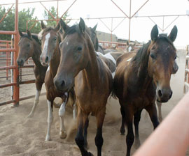 Federal Court Halts Horse Slaughter in U.S. Before It Begins