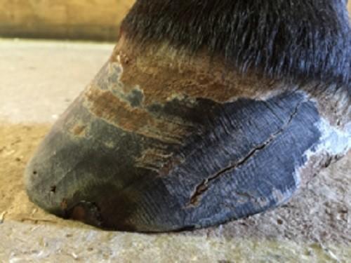 Managing Quarter Cracks in the Horse's Hoof