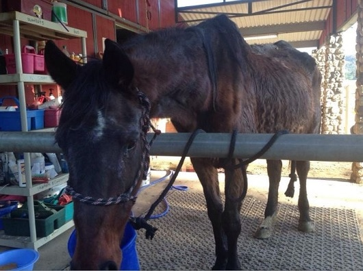 Dozens of Fallen Horses Land Softly Despite Allegations of Neglect