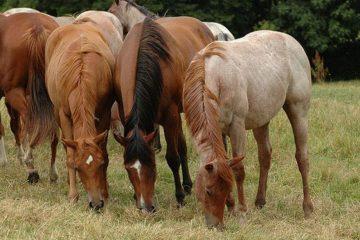 quarter horses herd