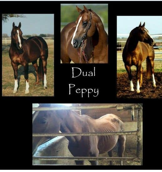 Dual Peppy Cutting Champion to Abused Horse Rises Again