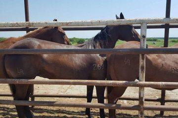 Dr. Leea Arnold's recipient mares in the Texas kill pen