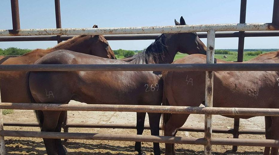 Dr. Leea Arnold's recipient mares in the Texas kill pen