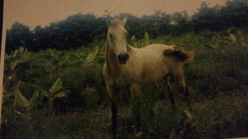 Missing buckskin horse may have been slaughtered for meat in Miami
