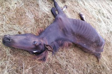 Starving horse shown dead at charity's ranch for wild horses.