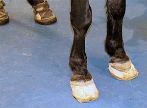 Canker treatment for horse's hooves.