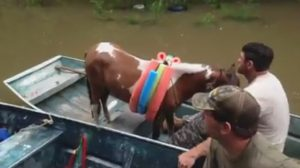 Men save horse by using boat during Louisiana flood August 2016