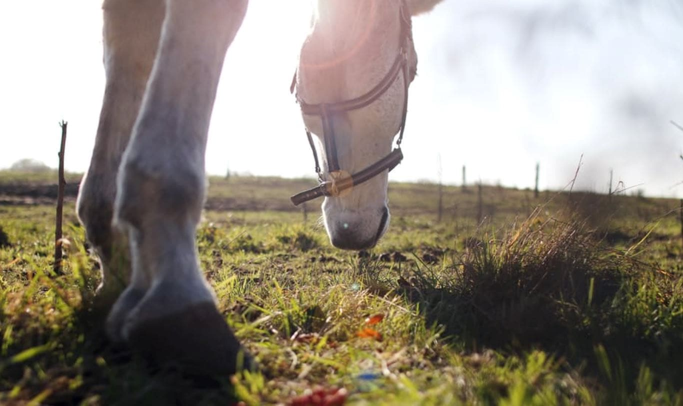 Find out how to thicken horse soles.