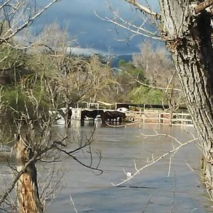 28 Horses Trapped at boarding stable due to San Jose Flooding