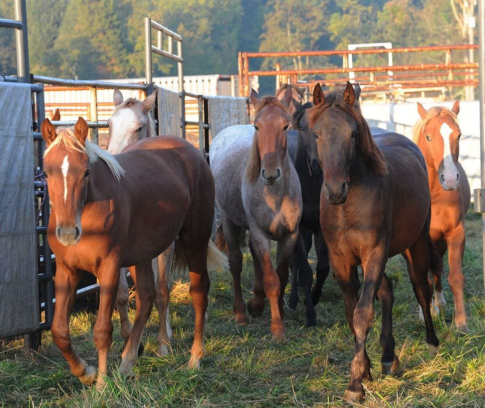 Buy depo provera for horses doc - Blm Budget Proposal Seeks To Euthanize Wild Horses
