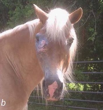 Ocular SCC can lead to vision loss or loss of the eye. In advanced cases, SCC can become invasive locally. It then spreads to the orbit, eating away at the bone and eventually the brain, which can cost the horse its life.