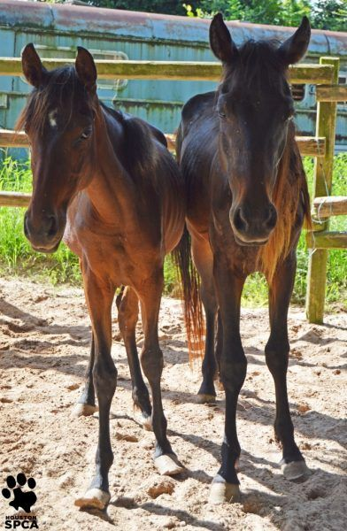 The Houston SPCA seized 207 horses. Of the horses, 30 were euthanized.