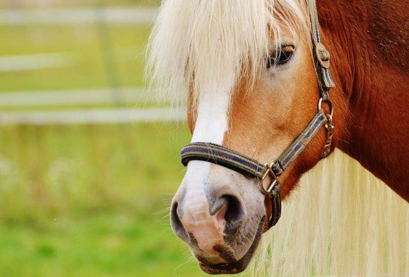 In a previous study, researchers found about 26% of SCC-affected horses in a retrospective study were Haflingers.