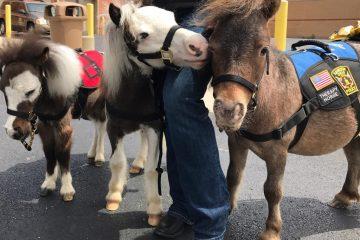 Courtesy Seven Oaks Farm Miniature Therapy Horses