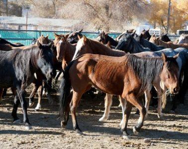 Killing Wild Horses for Population Control: BLM