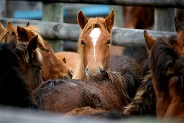 A House panel voted to lift the ban on horse slaughter in the United States.