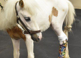 Tiny Horse Makes Big Recovery after Leg Amputation