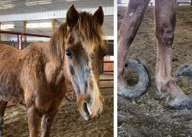 Lemontree Welsh Ponies Breeder Jimmy Lee Lemon is Charged with Animal Neglect