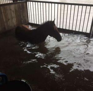 A young horse trapped in a horse stall with no way out during a Texas Hurricane.